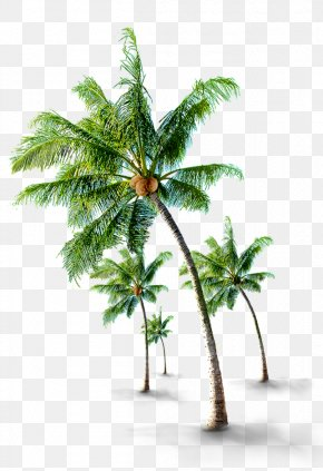 Tropical Coconut Trees - Coconut Arecaceae Tree PNG