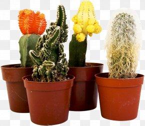 Cactus - Houseplant Cactaceae Flower PNG