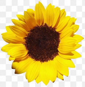 Sunflower - Common Sunflower Pixel XCF PNG