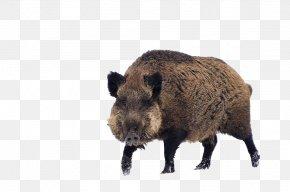 Wild Boar - Wild Boar Game Cat S60 PNG