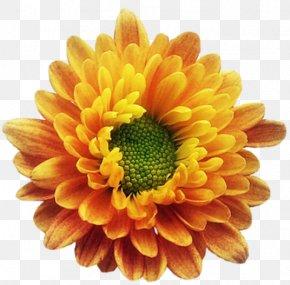 Chrysanthemum - Chrysanthemum Birth Flower Transvaal Daisy PNG