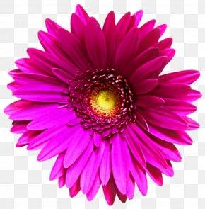 Daisy - Transvaal Daisy Common Daisy Clip Art PNG