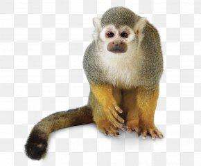 Monkey - Golden Lion Tamarin Primate Cotton-top Tamarin New World Monkey PNG