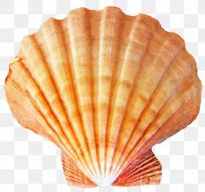 Seashell - Orange Seashell Cockle Pecten Beach PNG