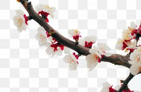 White Apricot Blossom - Cherry Blossom Apricot Plum Flower PNG