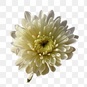 Chrysanthemum - Chrysanthemum Transvaal Daisy Nursery Rhyme Cut Flowers Star PNG