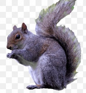 Squirrel - Purple Squirrel Eastern Gray Squirrel Red Squirrel Rodent PNG