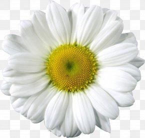 Daisy Clip Arts - Common Daisy Clip Art PNG