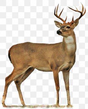 Deer Image - Roe Deer Moose PNG
