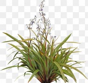 Pot Plant - Flax Lilies Plant Dianella Tasmanica Shrub Tree PNG