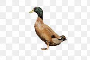 Duck - Cayuga Duck American Pekin Khaki Campbell Mallard PNG