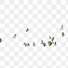 Bird - Water Bird Flight Cygnini Goose PNG