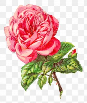 China Rose Japanese Camellia - Watercolor Pink Flowers PNG