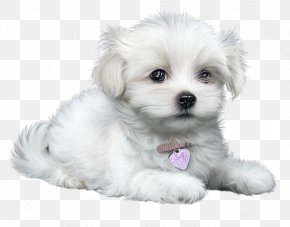 Coton De Tulear Toy Dog - Bulldog Drawing PNG
