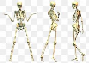 Skeleton File - Human Skeleton Bone PNG