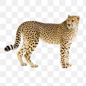 Leopard - Cheetah Leopard Hyena Cat Eurasian Lynx PNG