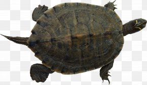 Turtle - Turtle Reptile Clip Art PNG