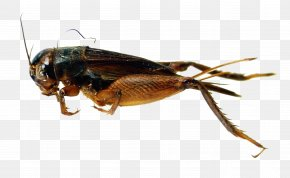 Cricket - Cricket Fighting Buster Moon Insect PNG