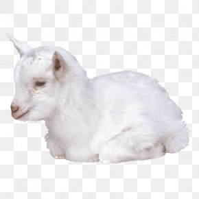 Goat - Goat Livestock Merino Fodder PNG