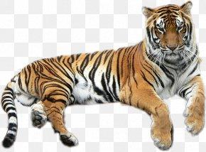 Lion - Bengal Tiger Golden Tiger Lion Liger Felidae PNG