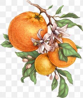 Fruit Juice - Bitter Orange Tangerine Mandarin Orange Grapefruit Botanical Illustration PNG