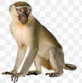 Monkey - Primate Monkey Gorilla Macaque Gray Langur PNG