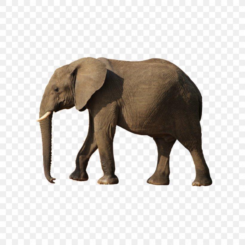 African Bush Elephant, PNG, 894x894px, African Bush Elephant, African Elephant, African Forest Elephant, Asian Elephant, Elephant Download Free
