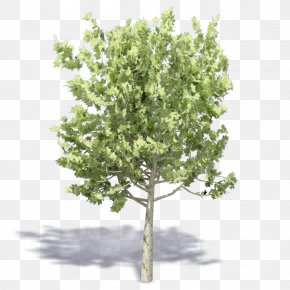 Tree - Twig Shrub Plane Trees Plane Tree Family PNG