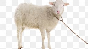 Goat - Suffolk Sheep Stock Photography Dall Sheep Goat PNG