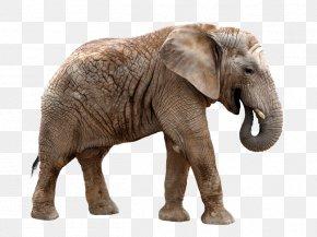 Elephant - Giraffe African Elephant Rhinoceros Okapi Asian Elephant PNG