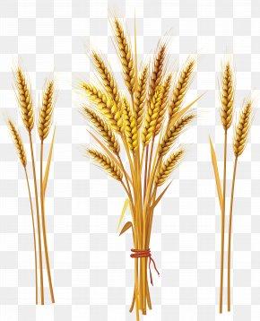 Wheat - Emmer Khorasan Wheat Cereal Ear Tiller PNG