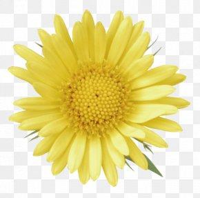 Common Dandelion Calendula Officinalis Yellow Clip Art PNG