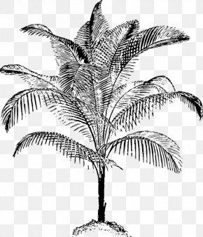 Vector Tropical Coconut Trees - Arecaceae Drawing Coconut Clip Art PNG
