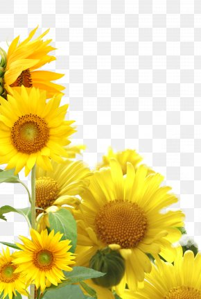 Sunflower - Double Ninth Festival 9u67089u65e5 Traditional Chinese Holidays I Ching Respect For The Aged Day PNG
