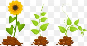 Vector Sunflowers Growing - Plant Euclidean Vector Clip Art PNG