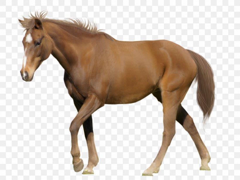 Arabian Horse Belgian Warmblood Andalusian Horse White Desktop