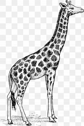 Vector Giraffe - Giraffe Black And White Free Content Clip Art PNG