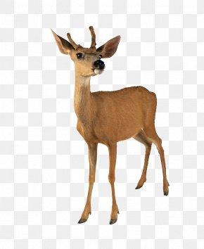 Standing Deer - Roe Deer White-tailed Deer Reindeer Moose PNG