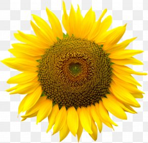 Sunflower - Image File Formats Computer File PNG