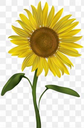 Sunflower Transparent Clip Art Image - Common Sunflower Clip Art PNG