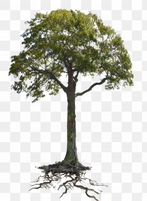 Tree - Tree Branch Root Woody Plant Trunk PNG