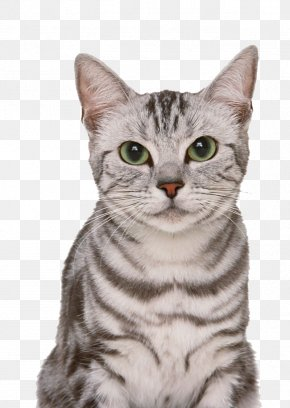 American Shorthair Pictures PNG