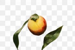Fruit Tree Flowering Plant - Fruit Tree PNG