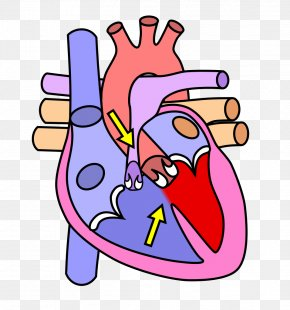 Human Heart - The Heart And Lungs Human Body Anatomy Human Skeleton PNG