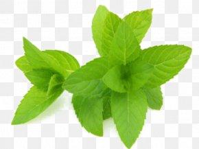 Perennial Plant Ocimum - Lemon Leaf PNG