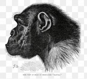 Chimpanzee - Great Apes Gorilla Common Chimpanzee Bonobo Primate PNG