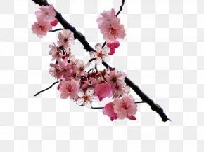 Cherry Blossom - Cherry Blossom Clip Art PNG