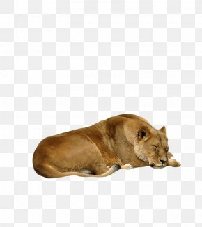 Lion - Lion DeviantArt PNG