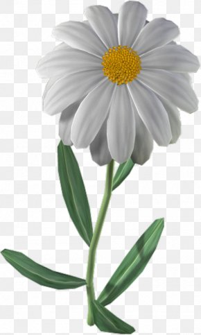 Camomile Mayweed - Flowers Background PNG