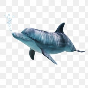 Dolphin - Common Bottlenose Dolphin Tucuxi Short-beaked Common Dolphin Wholphin Rough-toothed Dolphin PNG